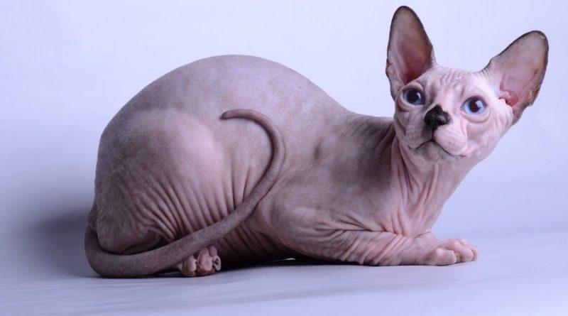 Милые лысые коты (20 фото)